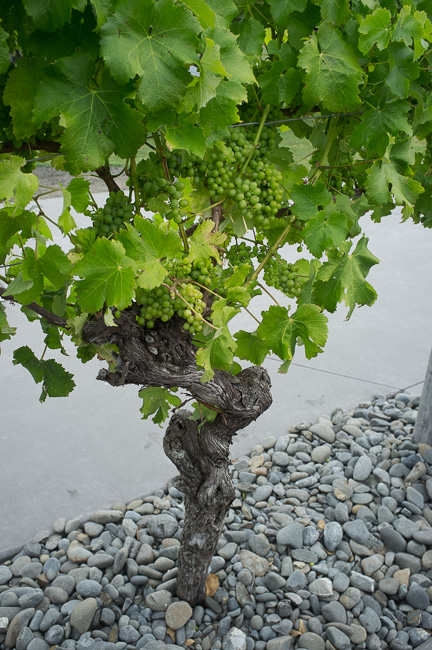One of the original vines from the Matua Valley vineyard - now on display.